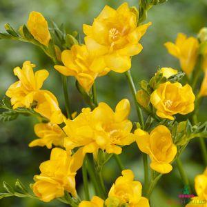 Freesia Double flowering Yellow
