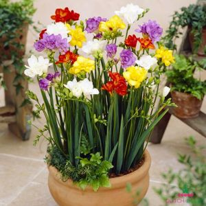 Freesia Double Mixture