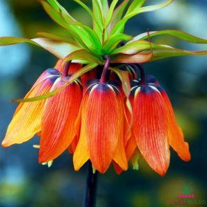 Fritillaria Mahler