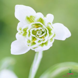 Galanthus Flore Pleno