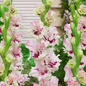 Gladiolus Mezja