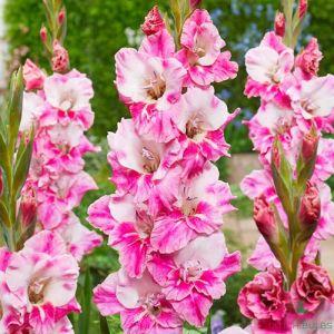 Gladiolus Razjan