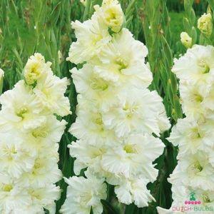 Gladiolus Saint Dmitri Solynksi