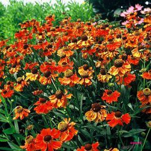 Helenium (hybride) Moerheim Beauty