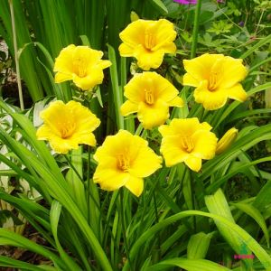 Hemerocallis (Daylily) Stella de Oro - order hemerocallis(daylilies) and perennials in our online garden centre with 100% 💰 GUARANTEE. Fast delivery across Europe.🚚 Pleasant price.✅ Large assortment.👈
