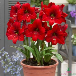 Hippeastrum Red Tiger
