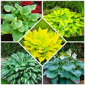Hosta Budget Collection