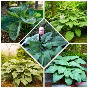 Hosta Giant Collection