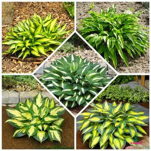 Hosta Mini Collection