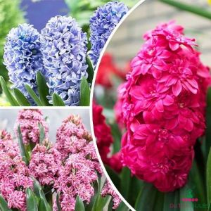 Hyacinth (double flowering) Mix