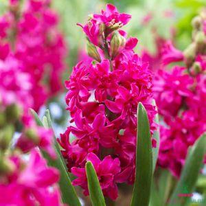Hyacinth (double flowering) Red Diamond