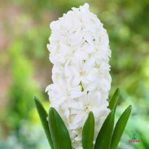Hyacinth (double flowering) Snow Crystal