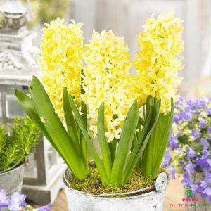 Hyacinth Gipsy Princess