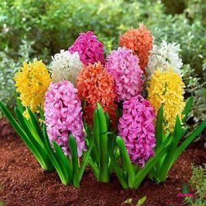 Hyacinth Pastel Mix