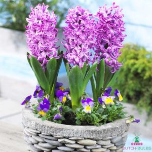 Hyacinth Purple Pride