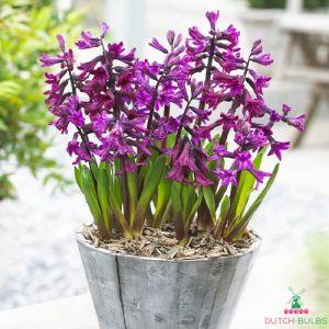 Hyacinth Showmaster