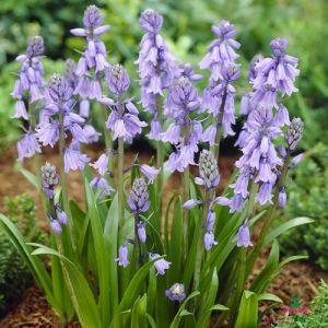 Hyacinthоides Hispanica Blue