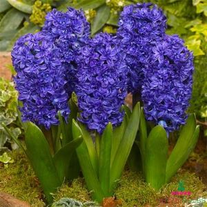Hyacinth (double flowering) Manhattan