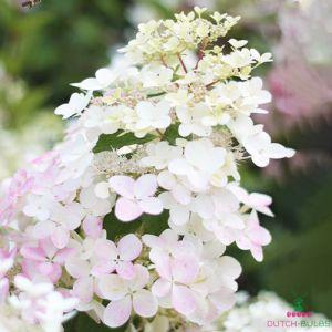 Hydrangea (Hortensia) Angels Blush
