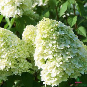 Hydrangea (Hortensia) Limelight