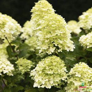 Hydrangea (Hortensia) Little Passion