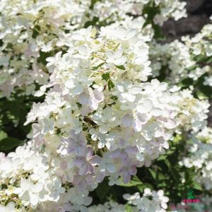 Hydrangea (Hortensia) Touch of Pink
