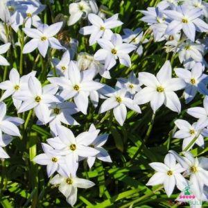 Ipheion White Star