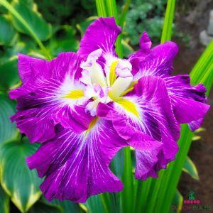 Iris Ensata (Japanese Iris) Persephone