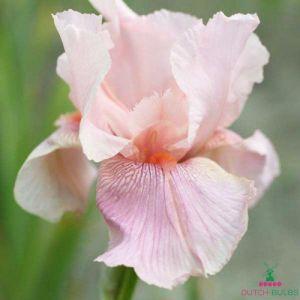 Iris Germanica (Bearded Iris) Blushing Pink