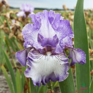 Iris Germanica (Bearded Iris) Earl of Essex