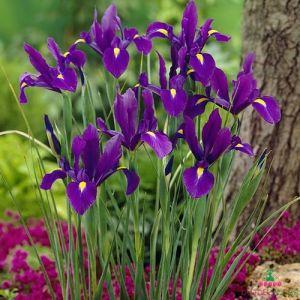 Iris Hollandica Purple