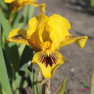 Iris Pumila Eye Bright