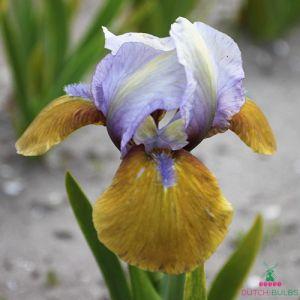 Iris Pumila Hokus Pokus