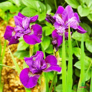 Iris Siberica (Siberian) Wine Wings