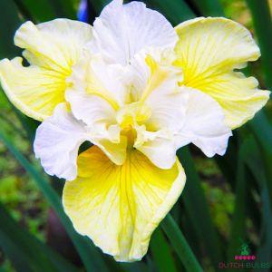 Iris Siberica (Siberian) Yellow Tail