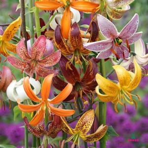 Lilium Martagon Mix