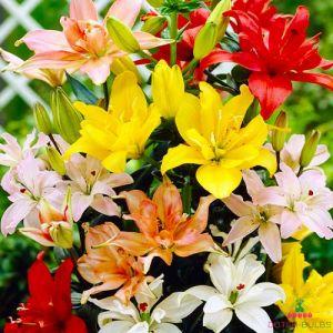Lilium Double Asiatic Mix