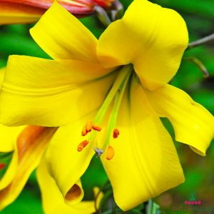 Lilium Golden Splendor