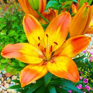 Lilium Happy Memories