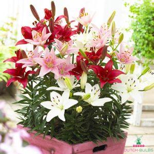 Lilium Pot Asiatic MIX