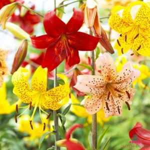 Lilium Tiger MIX