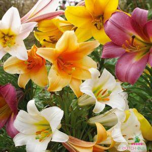 Lilium Trumpet MIX