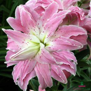 Lily Lotus Elegance