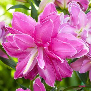 Lily Lotus Wonder