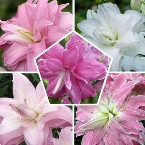Lily Lotus Double Orinetal Mix
