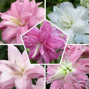 Lily Lotus Double Orinetal Mix