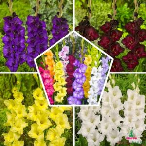 Gladiolus Collection