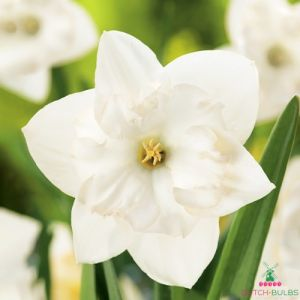 Narcissus (Daffodil)с Сolblanc