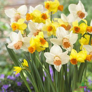 Narcissus (Daffodil) Botanical Mix