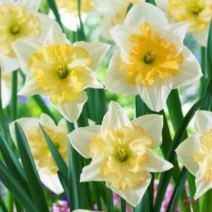 Narcissus (Daffodil)с Сhanging Сolors
